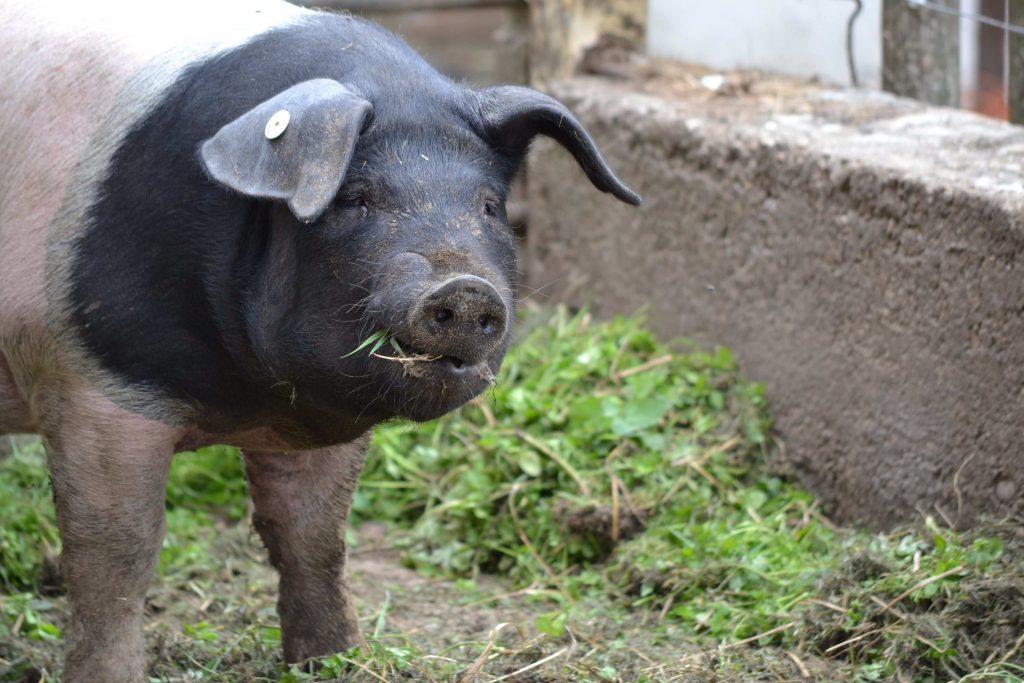 fressendes-schwein1