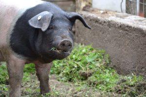 Schweine im Auslaufbereich